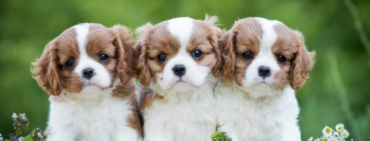 10 Best Dog Breeds for First-Time Owners