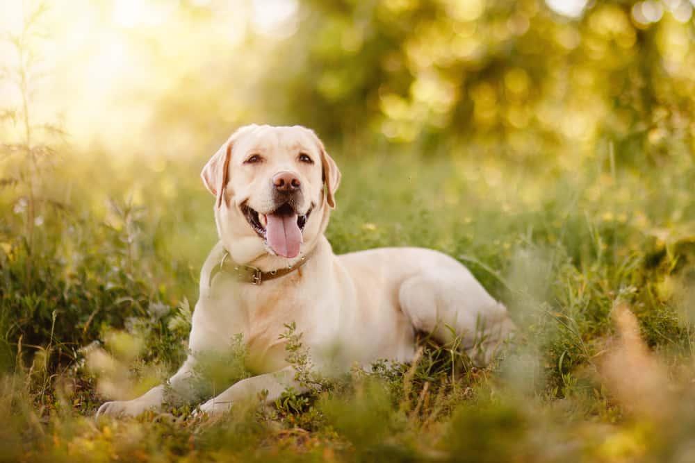 happy labrador retriever in nature