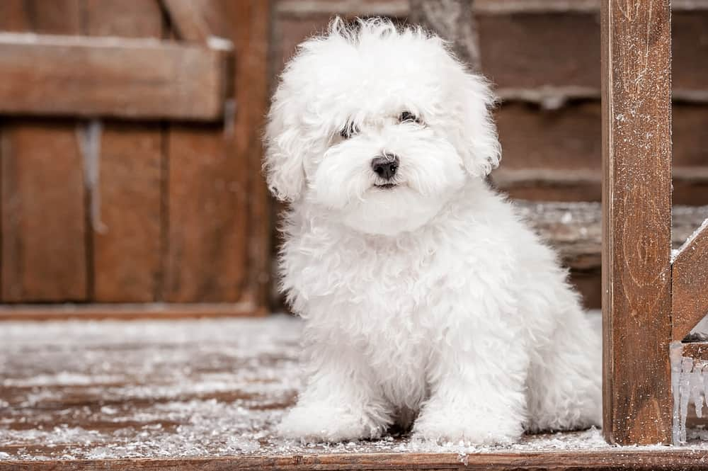bichon frise in snowy wooden house