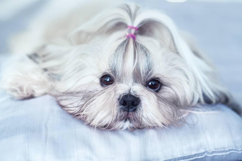 cute shih tzu on the bed