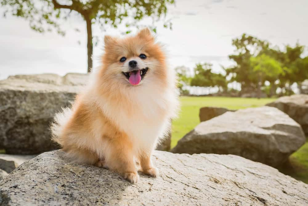 happy pomeranian on a rock