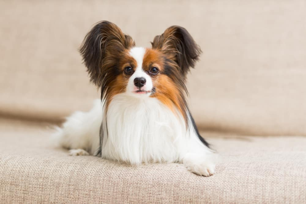 papillon on the couch
