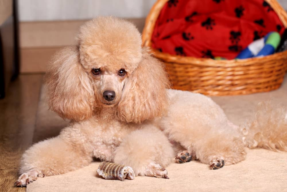 miniature poodle lying on the carpet