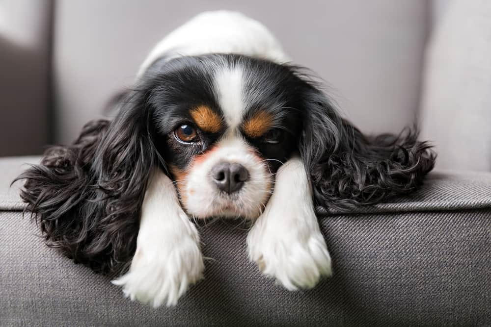 cavalier king charles spaniel portrait on the couch