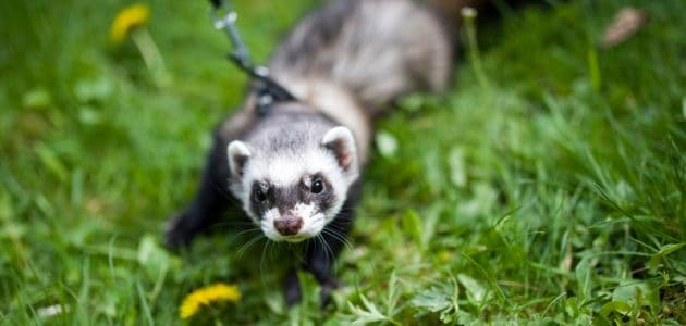 The 8 Best Ferret Harnesses to Buy in 2021
