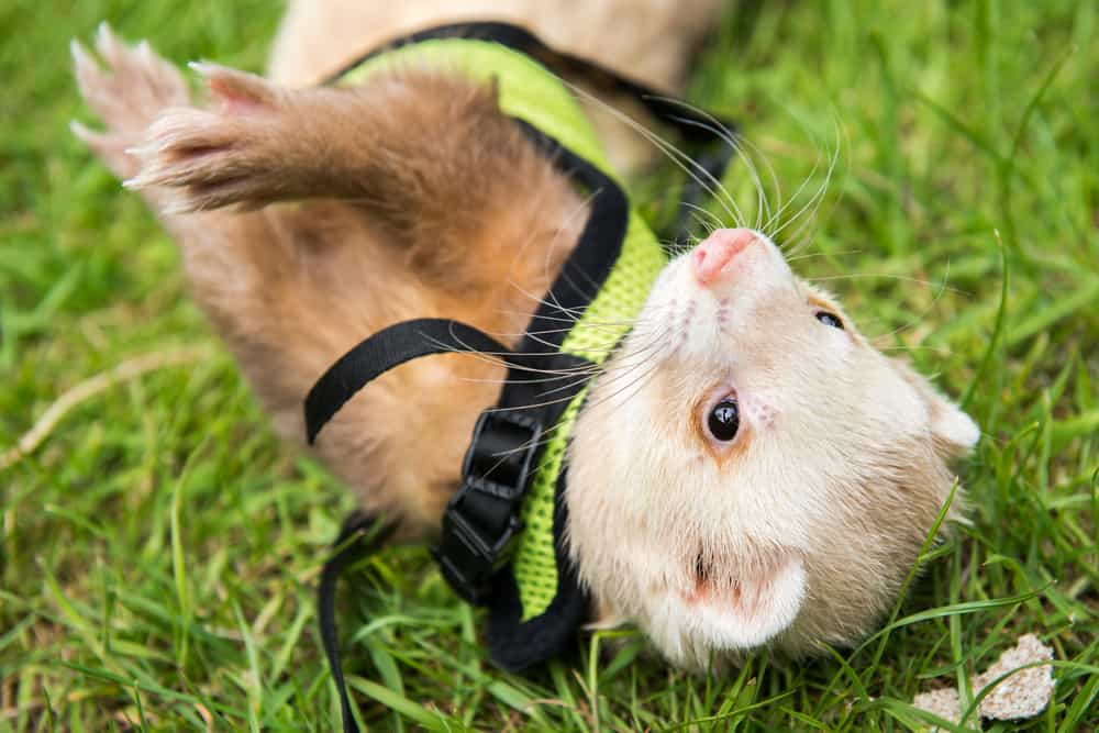 ferret playing on harness