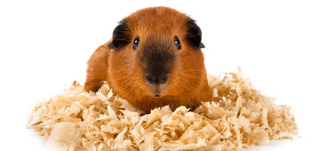 Best Guinea Pig Bedding To In 2021, How Much Is Bedding For A Guinea Pig