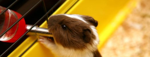 The 8 Best Water Bottles for Guinea Pigs in 2021