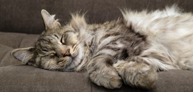 3 Ways to Care for Your Long-Haired Cat