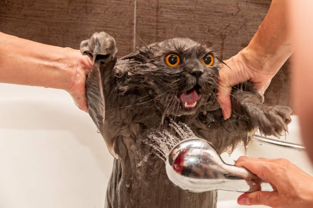 Stressed cat in the bath