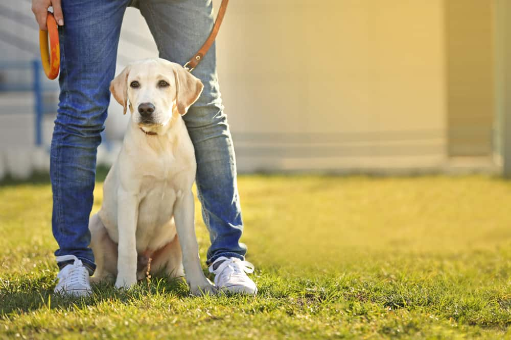 labrador retriever on leash sitting between owner's legs