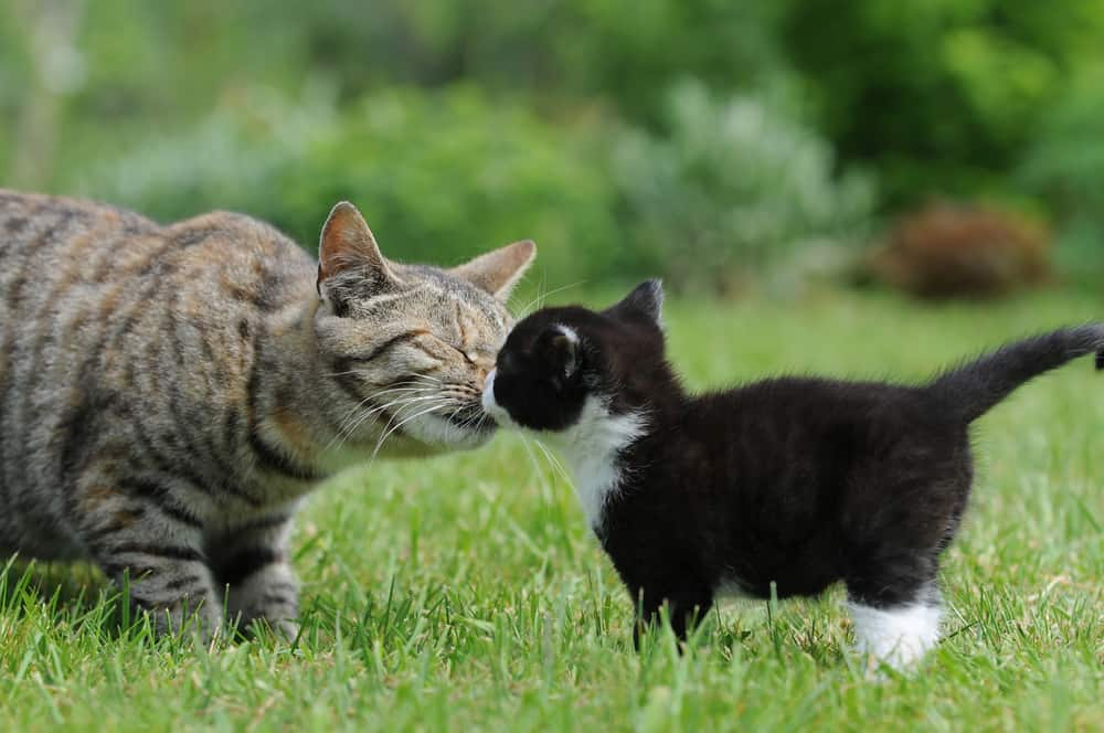 Why Cats Hiss At New Kittens And What You Can Do About It Petmag