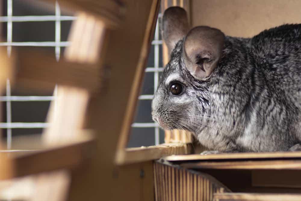 chinchilla in wooden cage