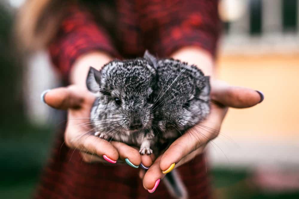 chinchilla pair in human hands