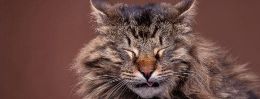 Cat Sneezing Blood? Understanding the Causes and Treatment Options