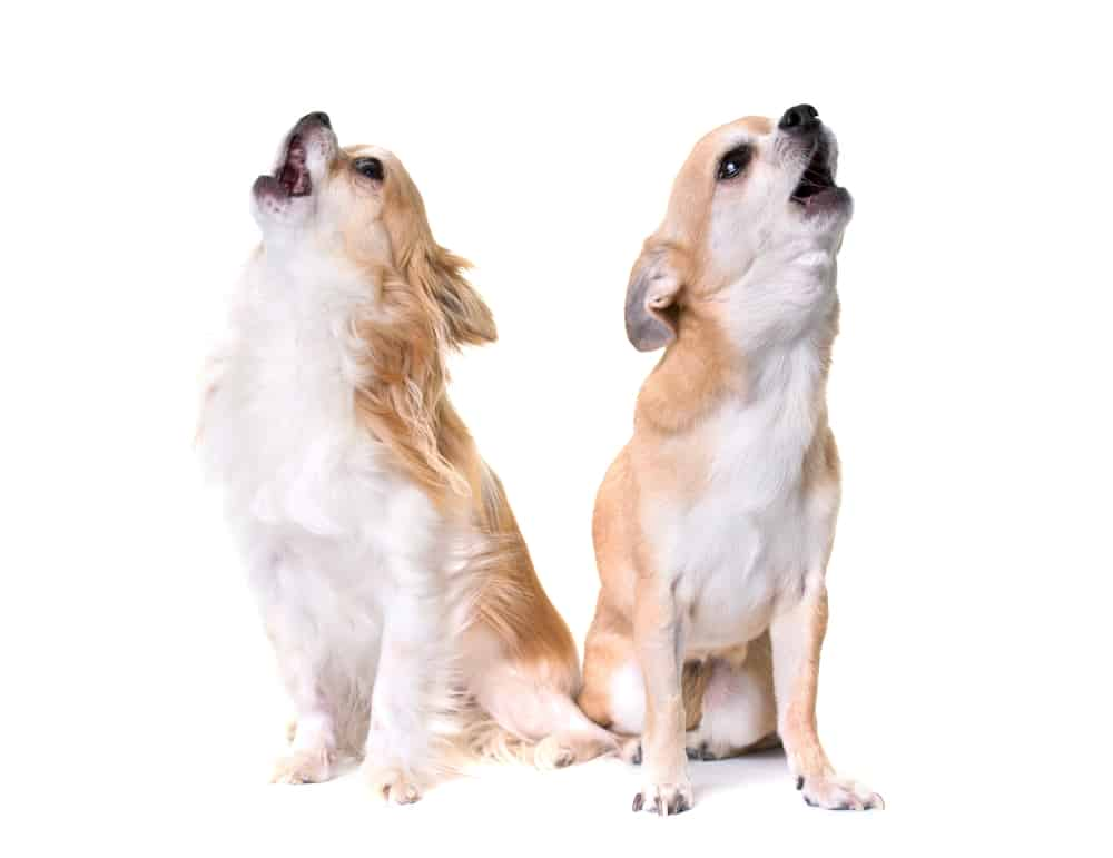 Two chihuahuas barking against a white background
