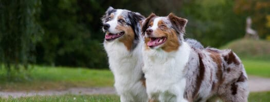 The 10 Best Dog Foods for Australian Shepherds in 2021