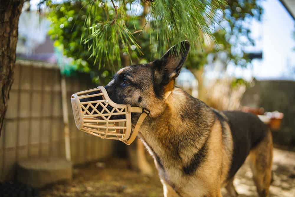 german shepherd wearing basket muzzle