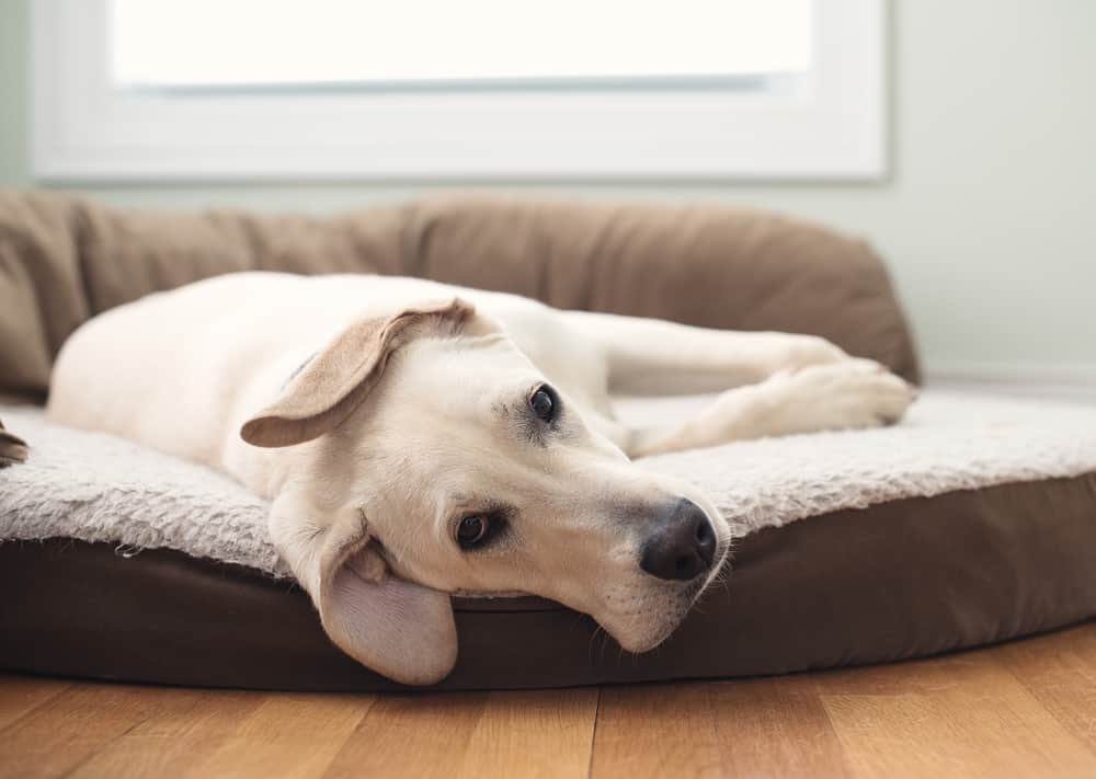 Yellow Lab laying on a dog bed