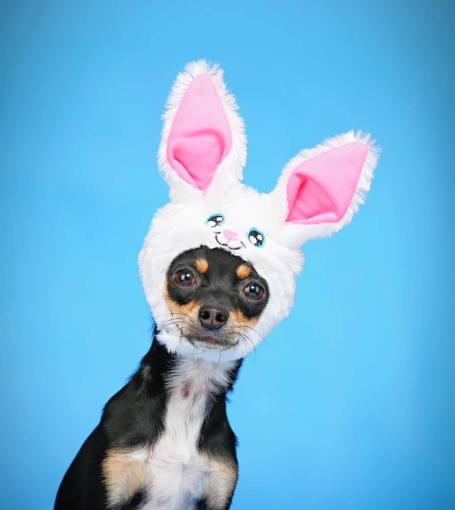 black chihuahua with bunny ears
