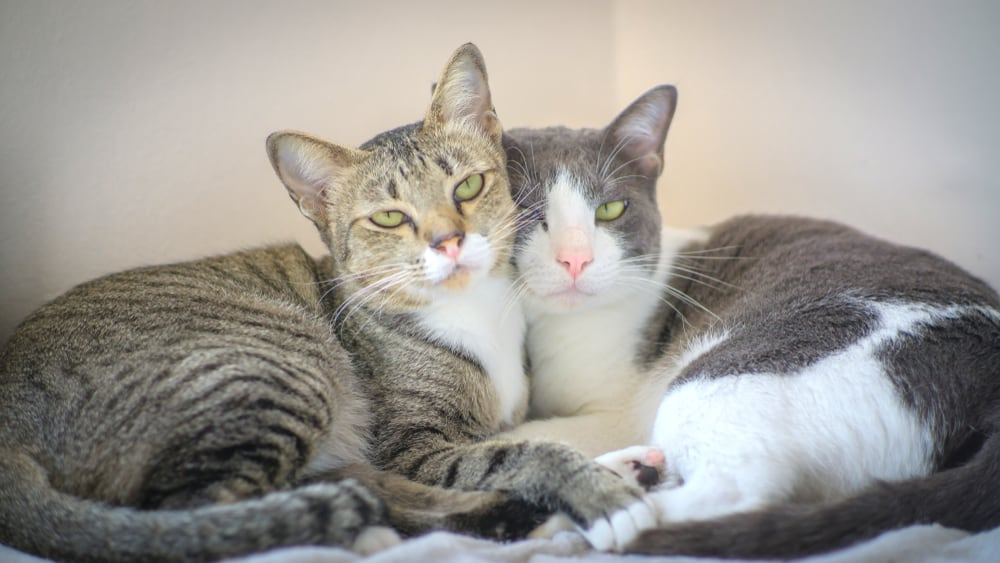 bonded older cats cuddling