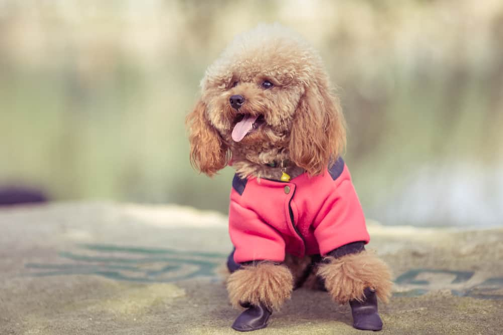brown poodle with a jacket