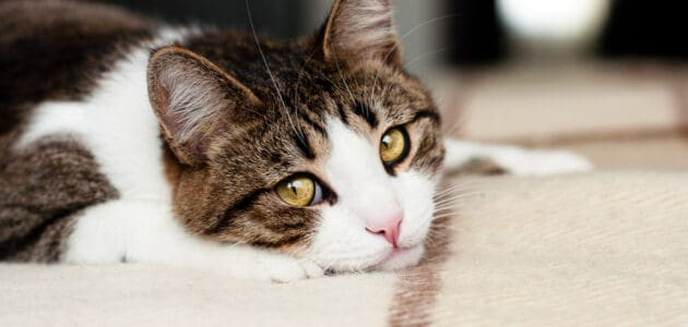 How Long Should I Quarantine a Cat With Ringworm?