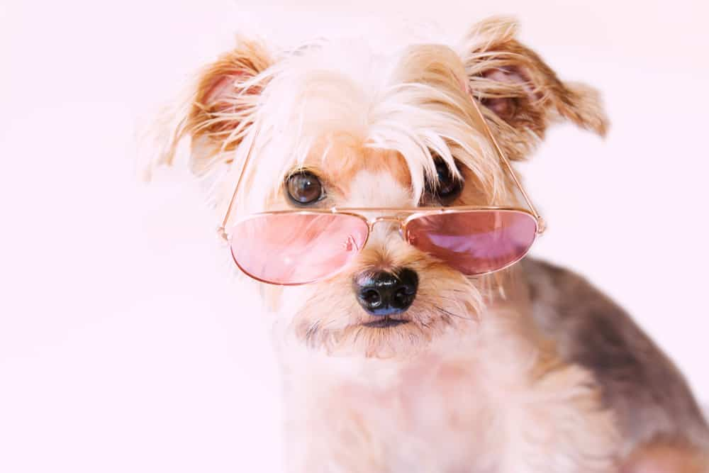 funny small dog with glasses