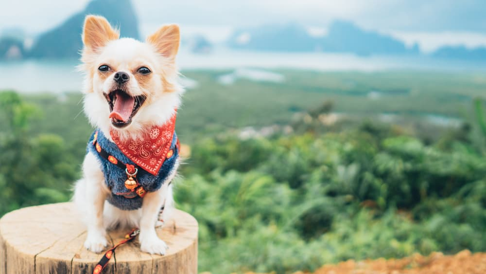 happy chihuahua in nature