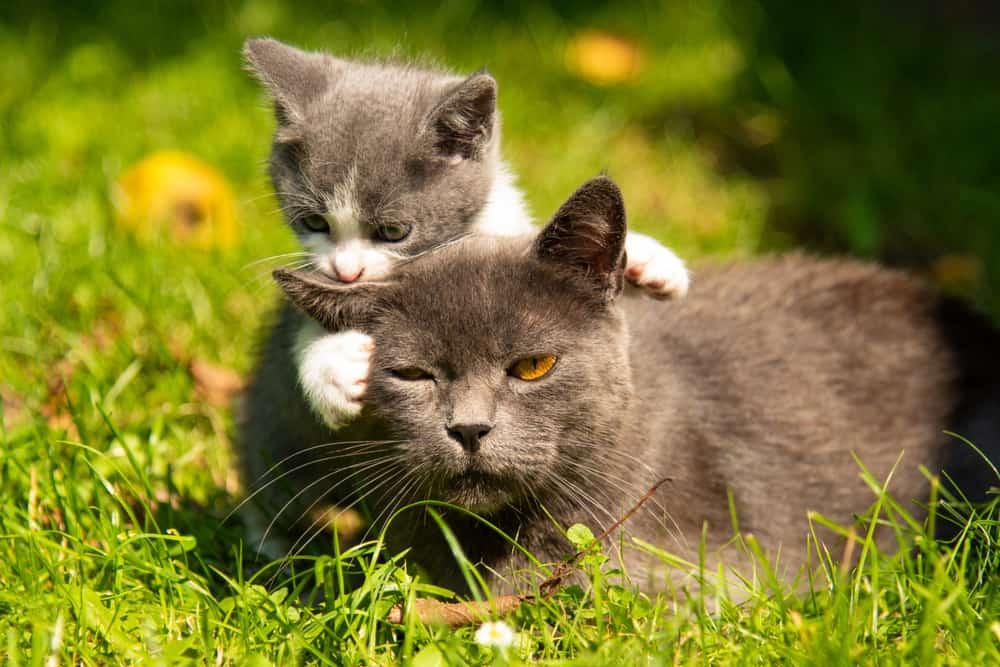 kitten annoying older cat