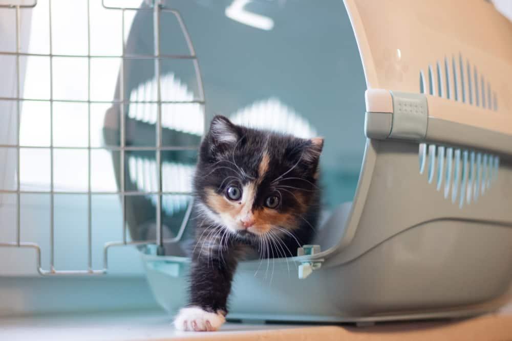 kitten emerging from pet carrier