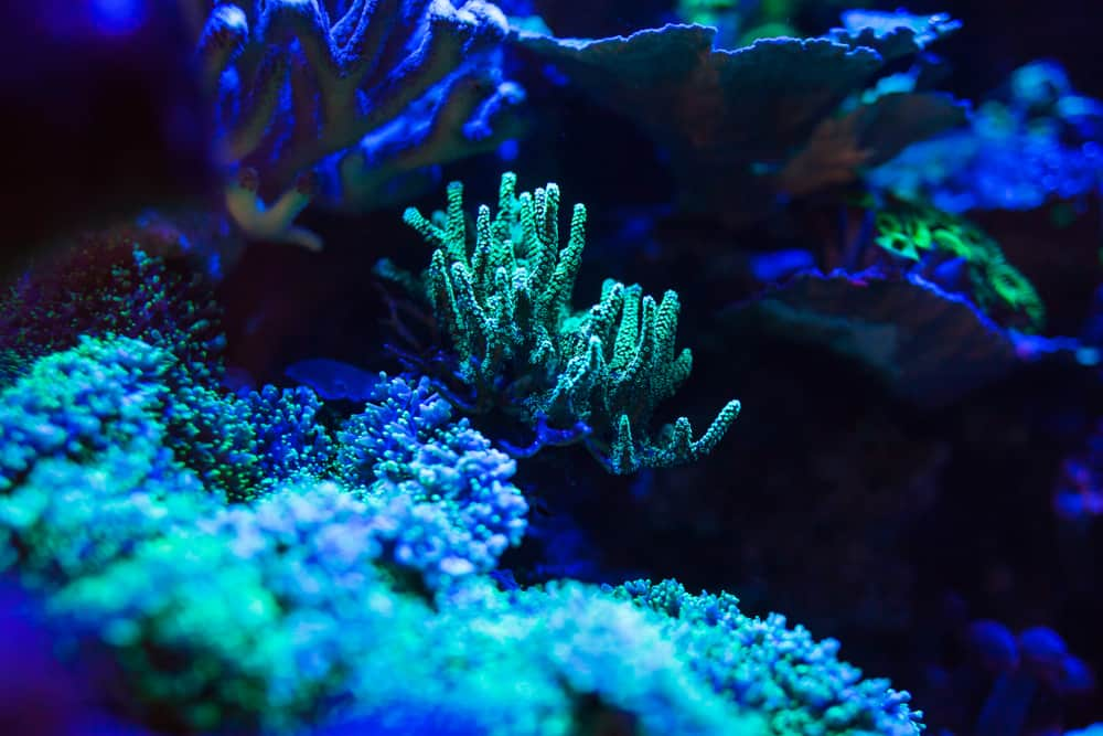 marine aquarium corals under uv light