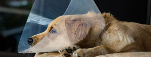 How Soon Can I Walk My Dog After Neutering?