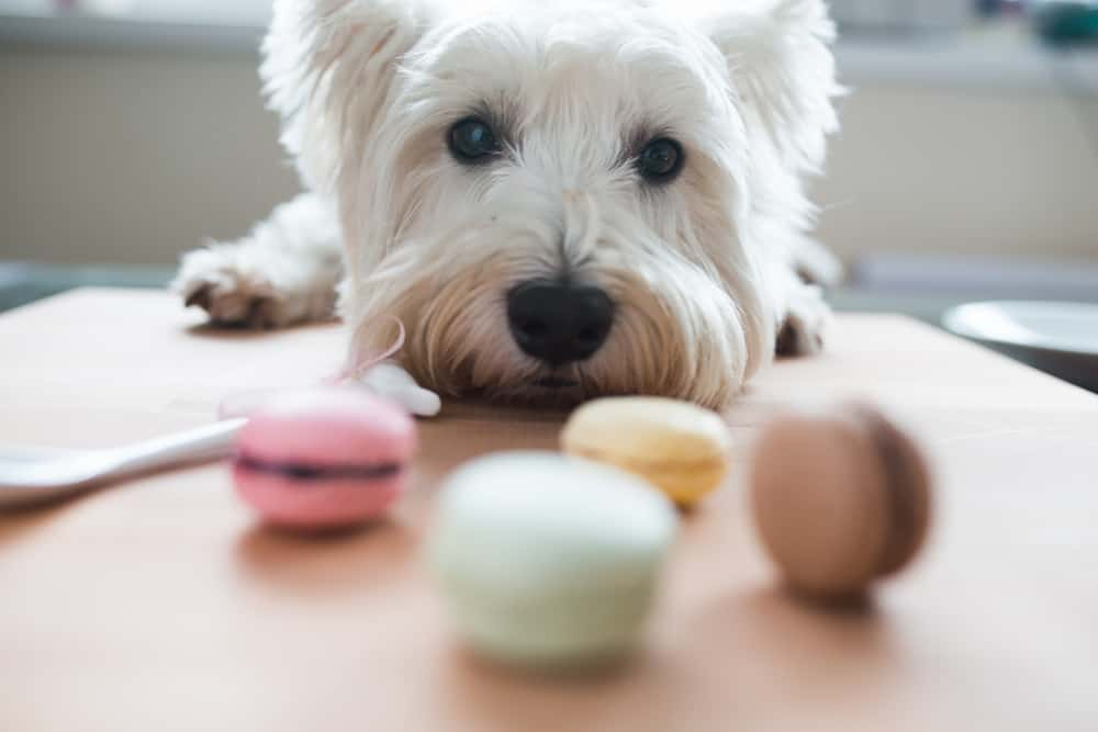 small white dog smelling macaroons