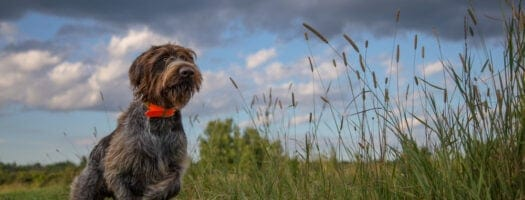 200+ Hunting Dog Names That Sound Great in the Field