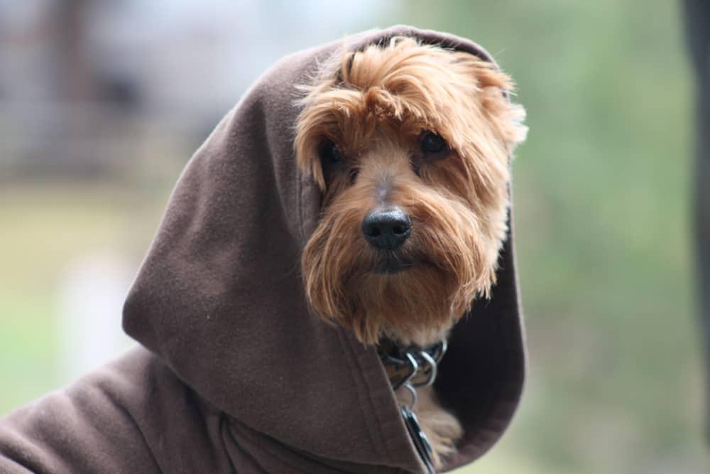 A tan Yorkie wearing a brown hood