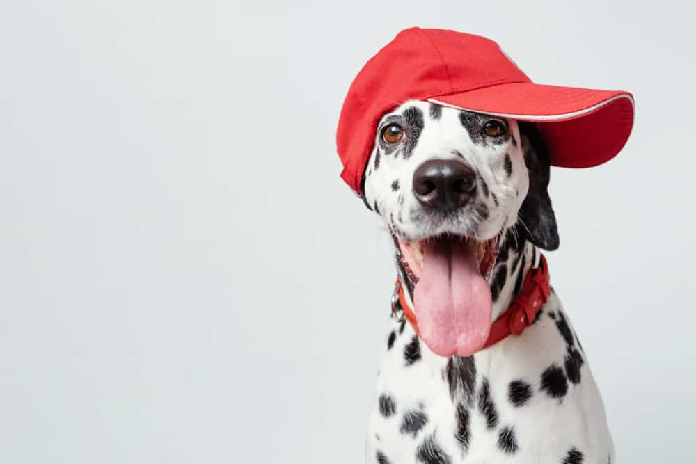 Dalmatian dog with red hat and collar
