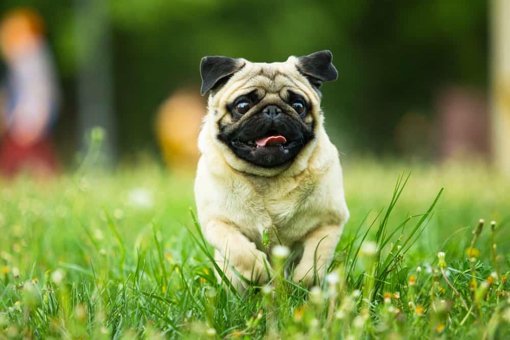 beige pug running in grass