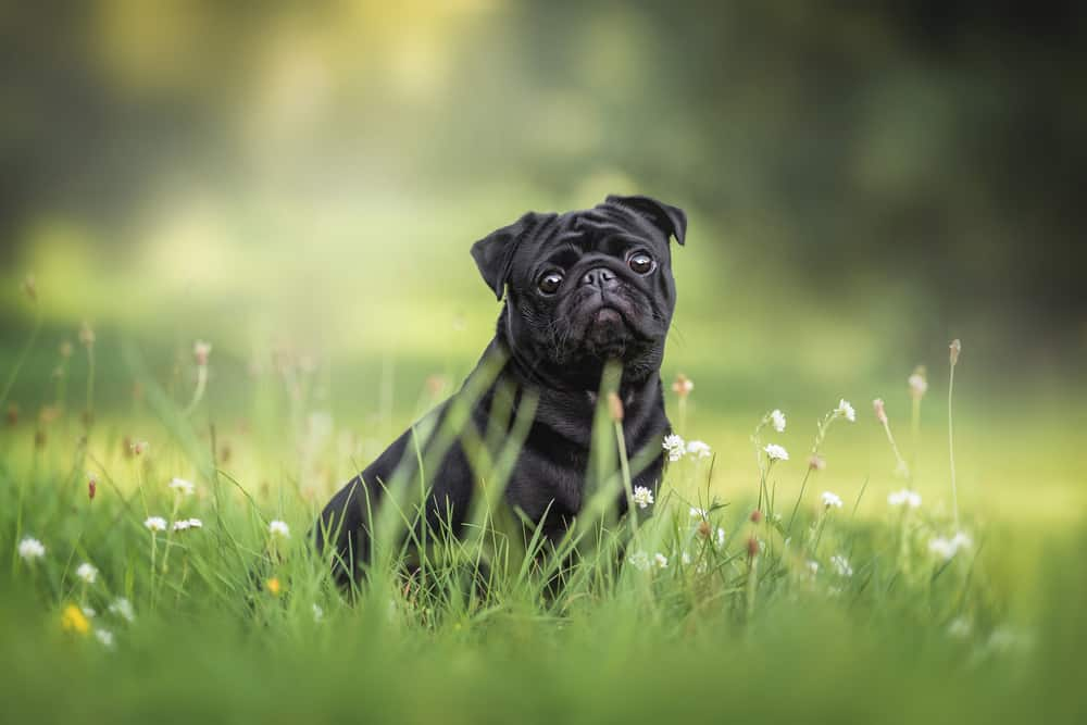 black pug in the grass