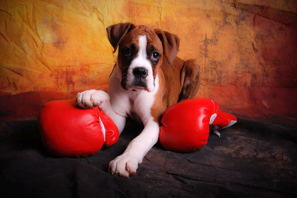 boxer puppy with red boxing gloves