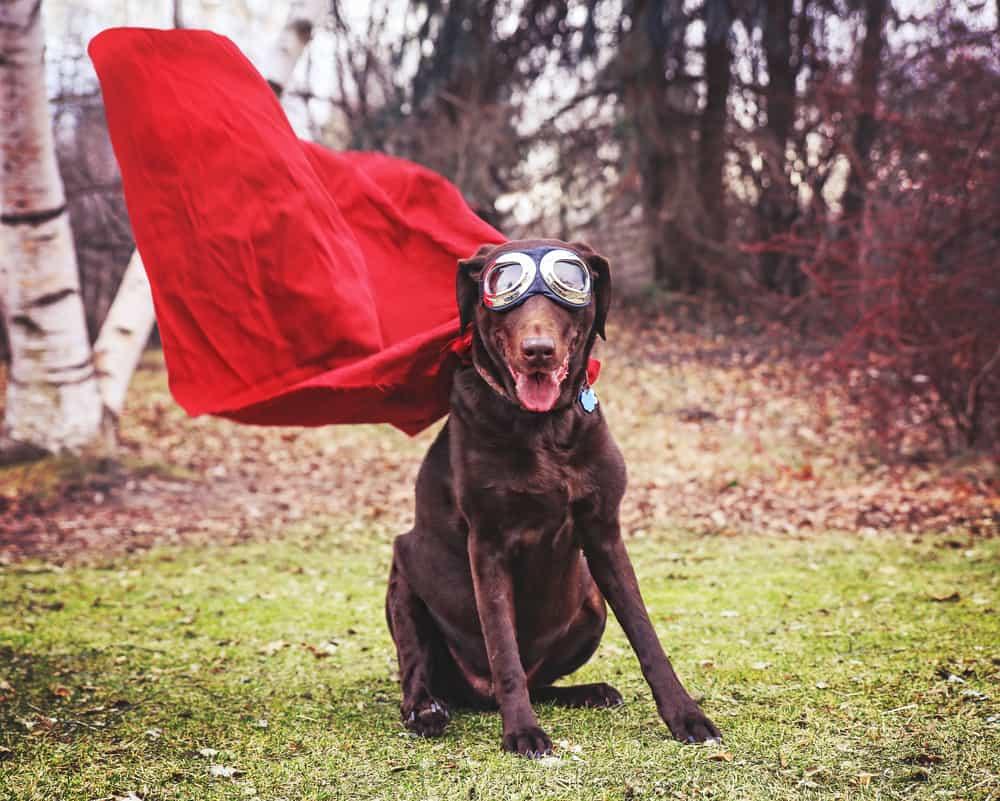 brown labrador with superhero cape
