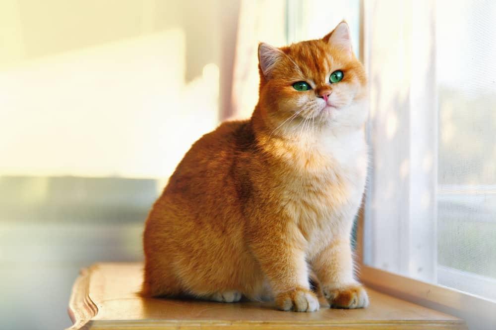 cat that looks like Garfield