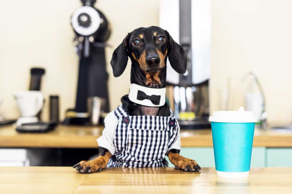 dachshund with a cup of coffee