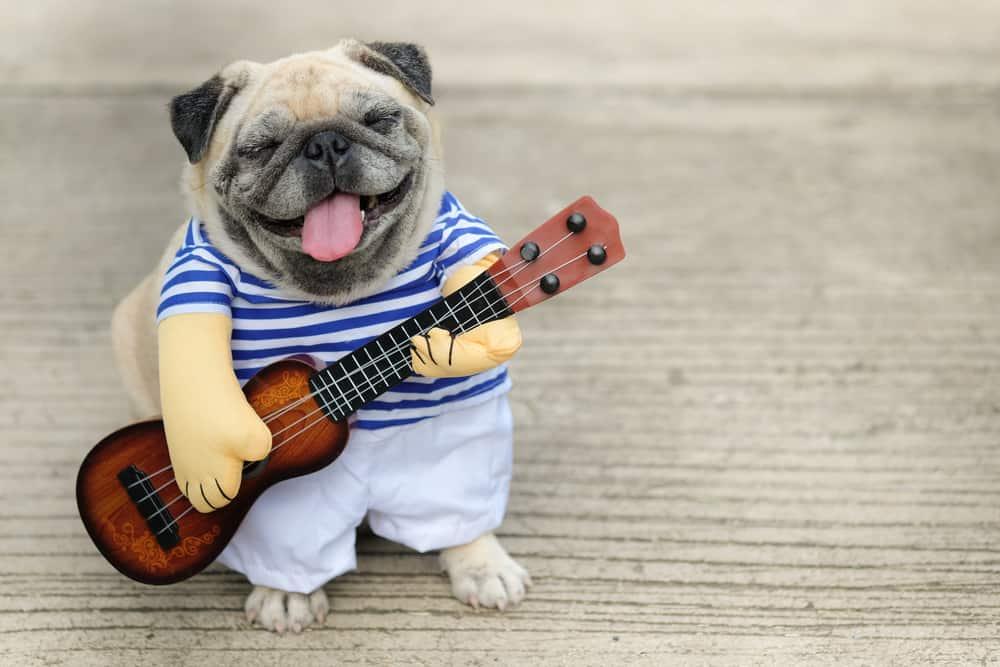 funny pug playing the guitar
