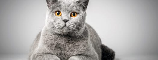 130+ Grey Cat Names for Your Little Grey Furball