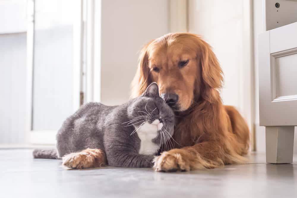 grey cat cuddling golden retriever