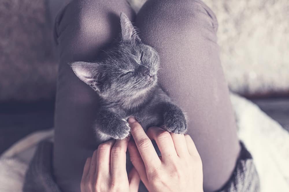 grey kitten sleeping lap