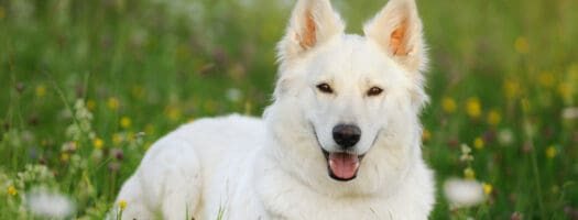 200+ White Dog Names for When You're Coming Up Blanc