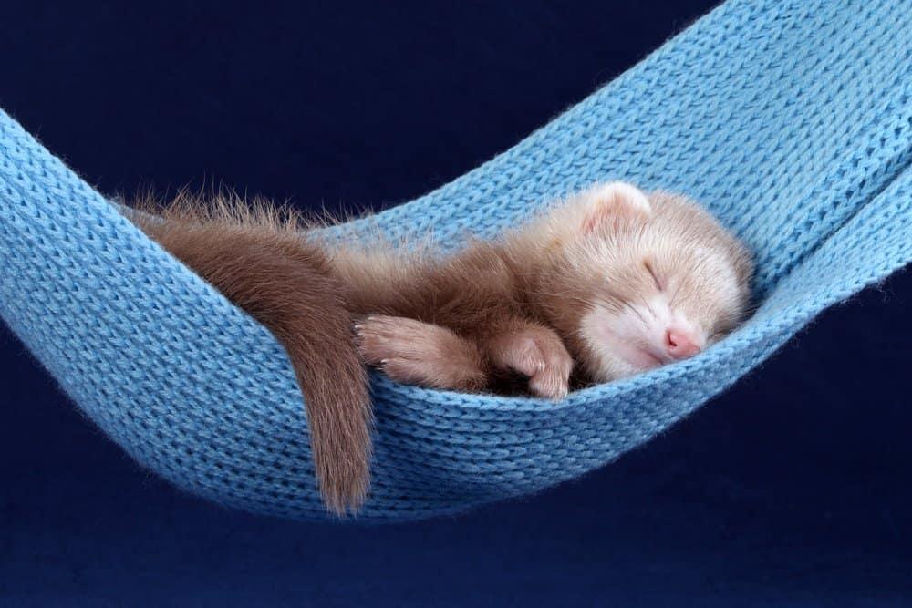 baby ferret sleeping hammock