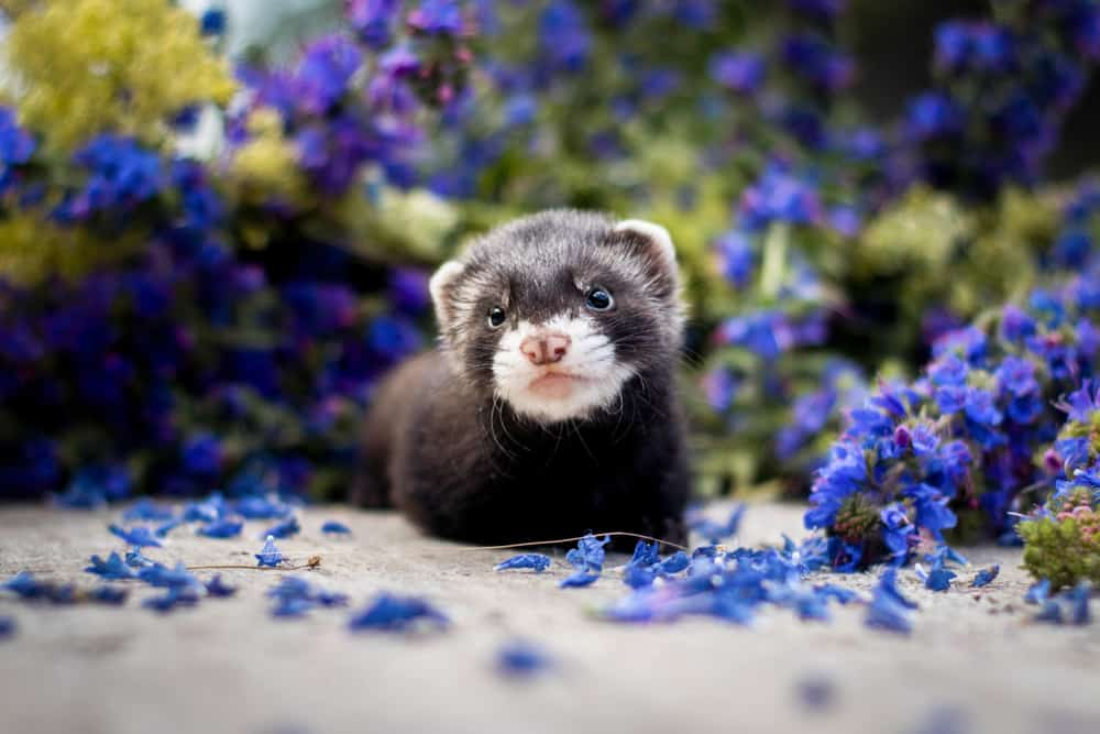 baby ferret surrounded by flowers